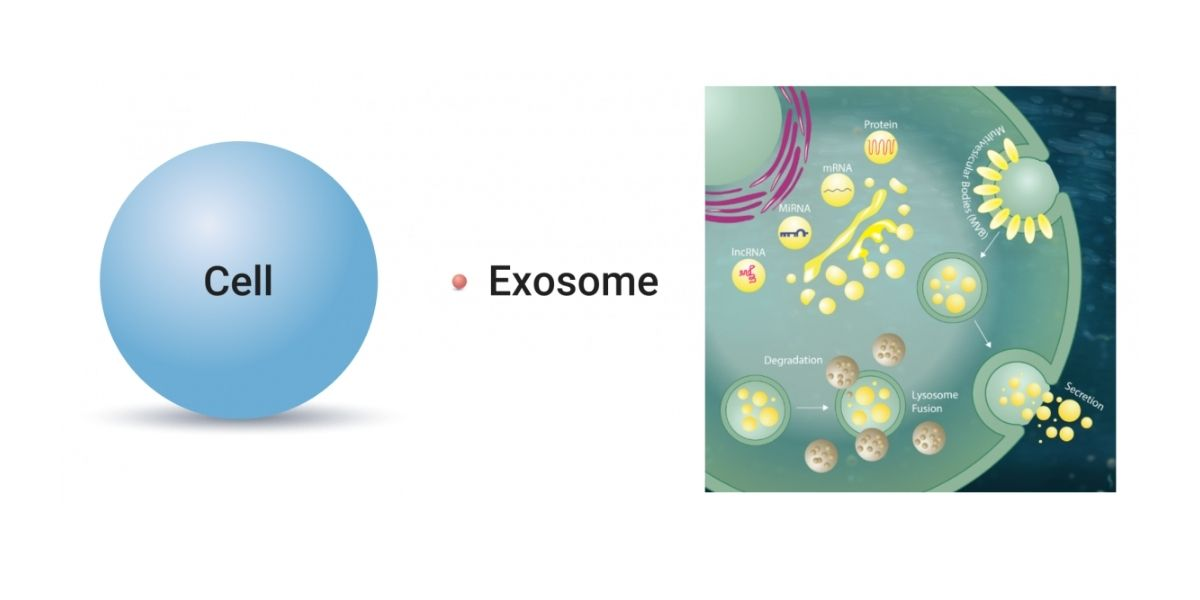 exosomes and hair